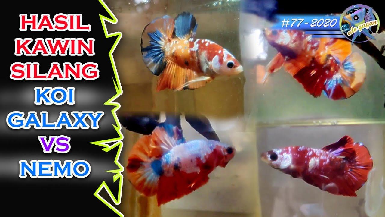 Hasil Kawin Silang Antara Pk Koi Galaxy Vs Pk Nemo Betta Fish Youtube
