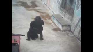 Юмор, приколы обезьяны в Израиле