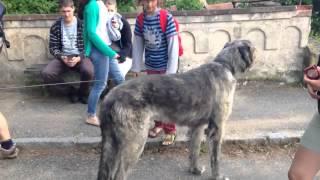 САМЫЙ БОЛЬШОЙ ПЁС (Ирландский волкодав)