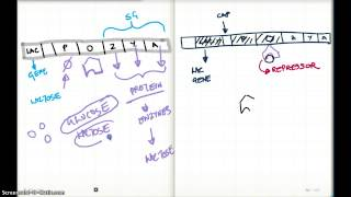 LAC OPERON AND cAMP LEVELS