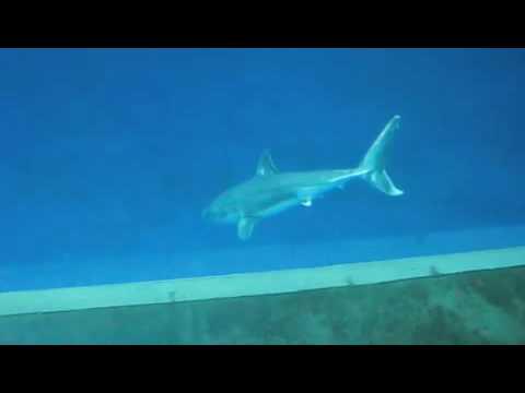 Great White Shark In Aquarium
