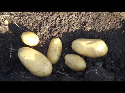 Урожай картофеля 2020г собран. Подведём итоги.