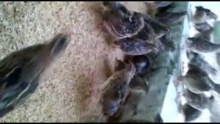 Btair Farming ( Quail for sale btair for sale ) +923049246088