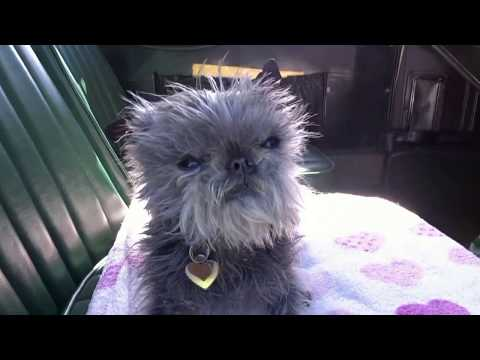 Can your Affenpinscher do this ? Affiefilms celebrates 10 Years of filming