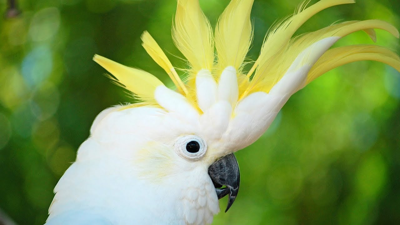 Cute Cockatiel Wallpaper How To Take Care Of A Cockatoo Pet Bird Youtube