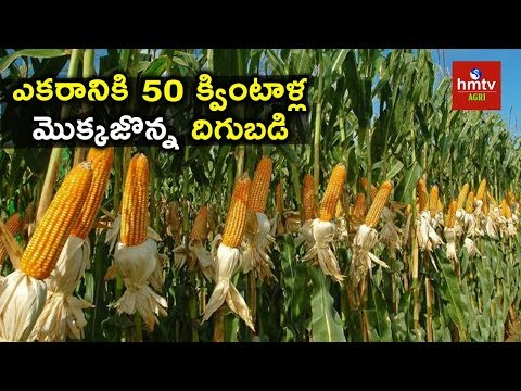 Maize Farming - Innovative Farmer Shares Experiences  | hmtv Agri