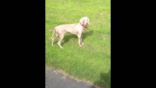 Weimaraner Puppy On The Hunt In The Park