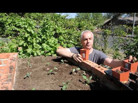 Growing Dinosaur Kale In Austin Texas
