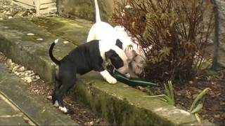 Video Des Chiots Bull Terriers A 2mois (15 02 2015)