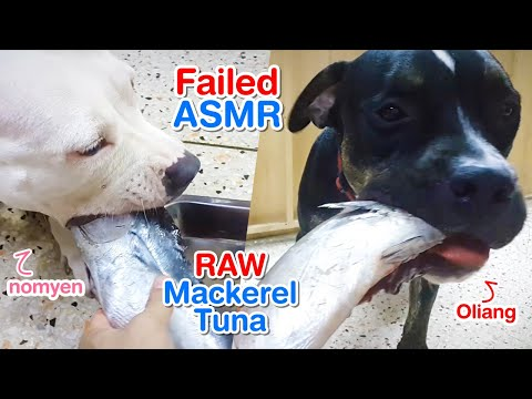 Pit Bulls eat RAW Frozen Mackerel Tuna   B.A.R.F   Pit Bull Life   Failed ASMR   犬が生の肉を食べる