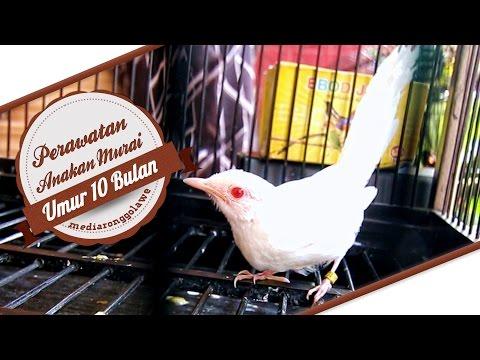 Hasil Peternakan Ctr Bird Farm Murai Batu Albino Langka Unik Antik Usia 2 Bulan By Brandy Watch Channel