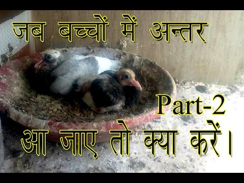How to Cure The Problem of Size in baby pigeon care Part-2  By Aman Prabhakar