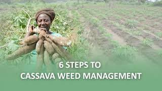 Six steps to harvesting more than 20 tons per hectare of cassava (ENGLISH) Updated