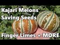 Garden & Aquaponic Vlog | Saving lettuce seed - Kajari Melons - Figs - Rodents + MORE
