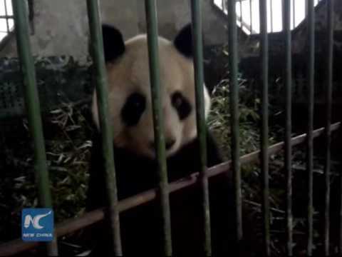 Giant panda abused in NW China zoo?