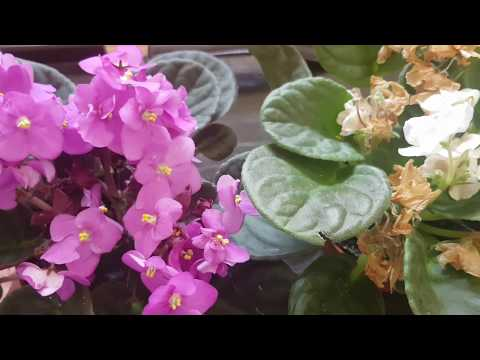 Menekşe melez tohum yapma. African Violet Hybrit Polleniation .