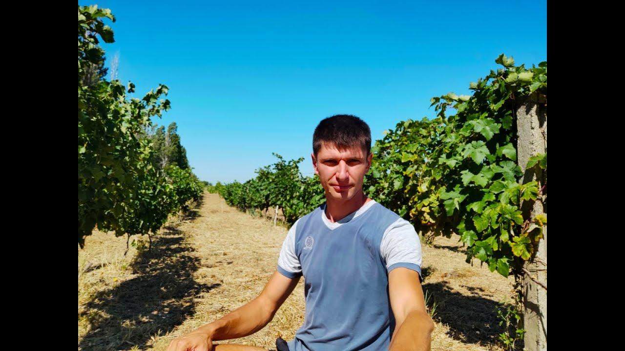 Технический виноградник в полевых условиях. Состояние и работы в начале августа...