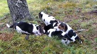 Beagle pennut 6vkoa