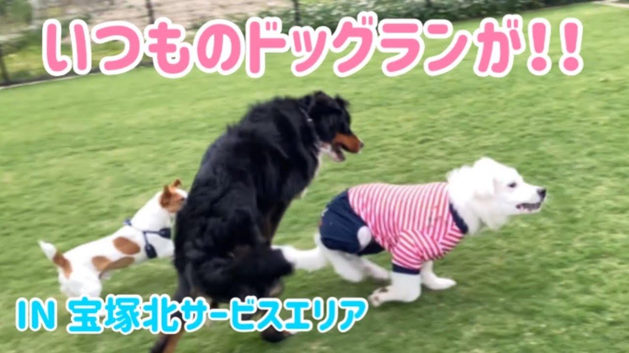 【多頭飼いの日常】いつもいく宝塚北SAドッグランがリニューアルされていた!!【Bernese Mountain Dog】【Chihuahua】【Great Pyrenees】