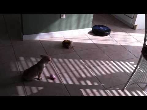 French Bulldog Puppy vs Roomba