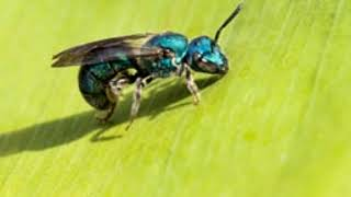 Beguiling Facts About Sweat Bees