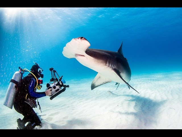 Scuba Diving With Great Hammerheads in Bimini, Bahamas