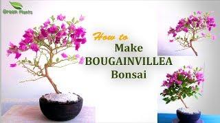 Bougainvillea Bonsai | Bougainvillea Bonsai Repotting //GREEN PLANTS💚