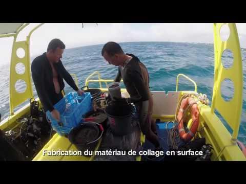 Transplantation de coraux en Guadeloupe