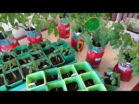 Рассада томатов вытянется, если упустить момент/Появилась цветочная  кисть