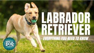 Labrador Retriever Dog Breed Guide | Dogs 101 Labrador Retriever