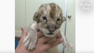 Come! This Cute Baby Lion Wants To See You Just For 30 Sec | Kritter Klub