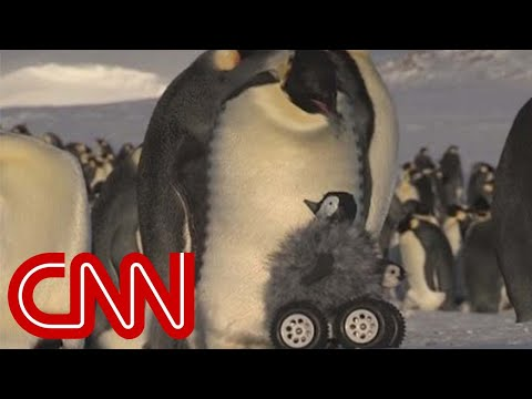 Robot penguin meets real penguin in cutest experiment ever