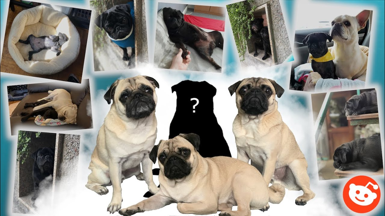 Should We Get A Black Pug?? ..