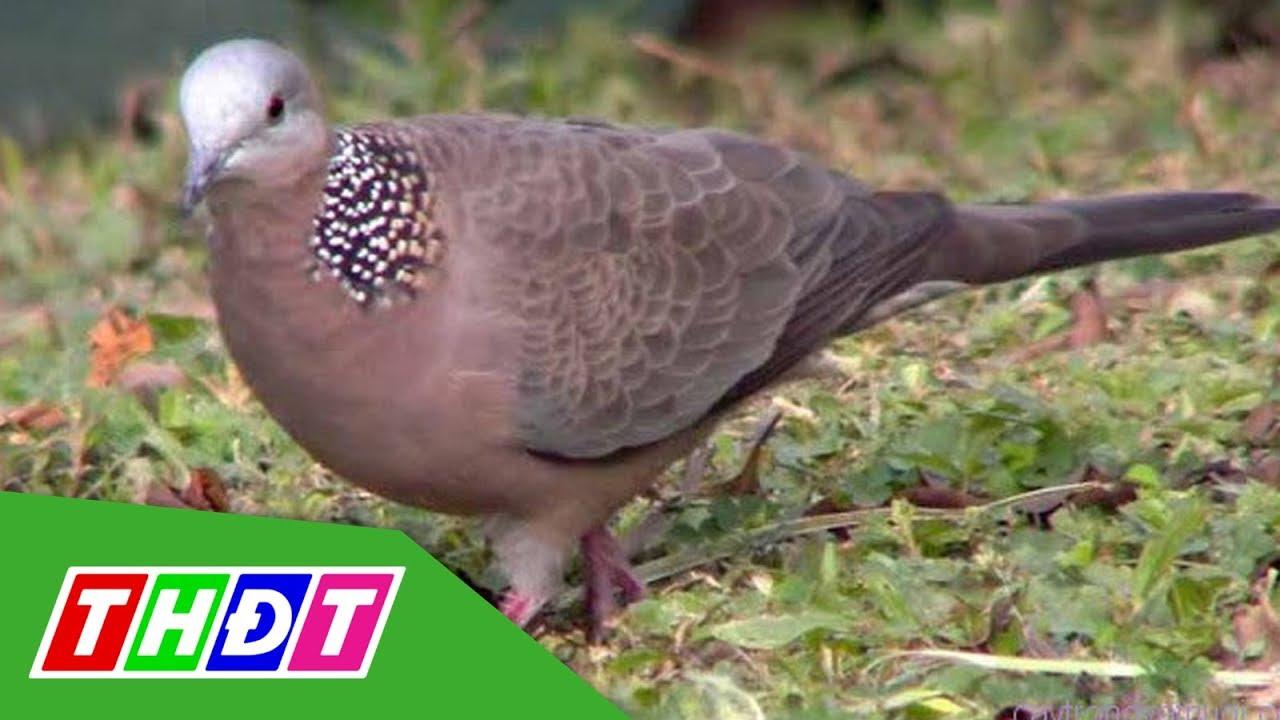 Chia sẻ bí quyết về cách nuôi chim cu gáy mà không phải ai cũng biết?  | THDT