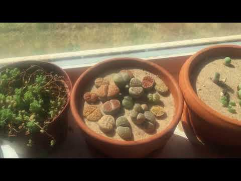 Looking For Lithops Or Conophytum?