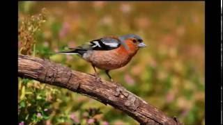 Голоса птиц  Зяблик поет