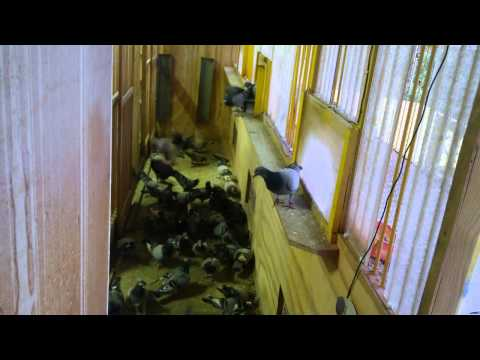 Racing Pigeon entering loft after feeding. - Ian Adriaanse, Paarl, South Africa