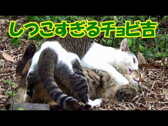 しつこすぎる猫チョビ吉のちょっかい Chobi Cat teasing too much!.
