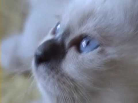 Vido chat Birman vidos de chats de race Birman  Wamiz