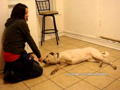 How to teach your dog to play dead 'Bang Bang' Chicago Dog Training