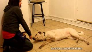 "How to teach your dog to play dead ""Bang Bang"" Chicago Dog Training"