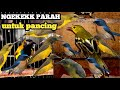 Sogok Ontong Burung Kelapa  Mp3 - Mp4 Download