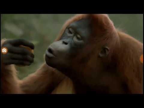 Смешные обезьяны, обезьяна танцует