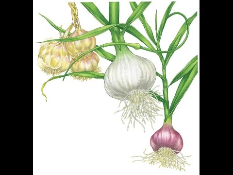 Able to Treat just about Every Ailment - Garlic the Stinking Rose