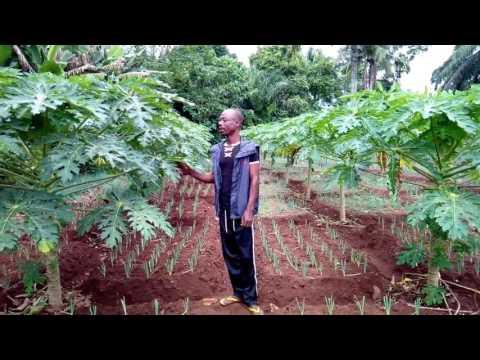 California Papaya in Nigeria