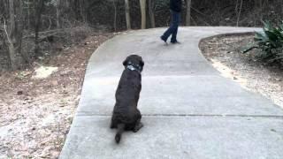 Olaf Before and After: Labrador Retriever Dog Training in Columbia, South Carolina