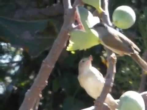 Birds of Spain - Wingspan Bird Tours - Fig eating Warblers
