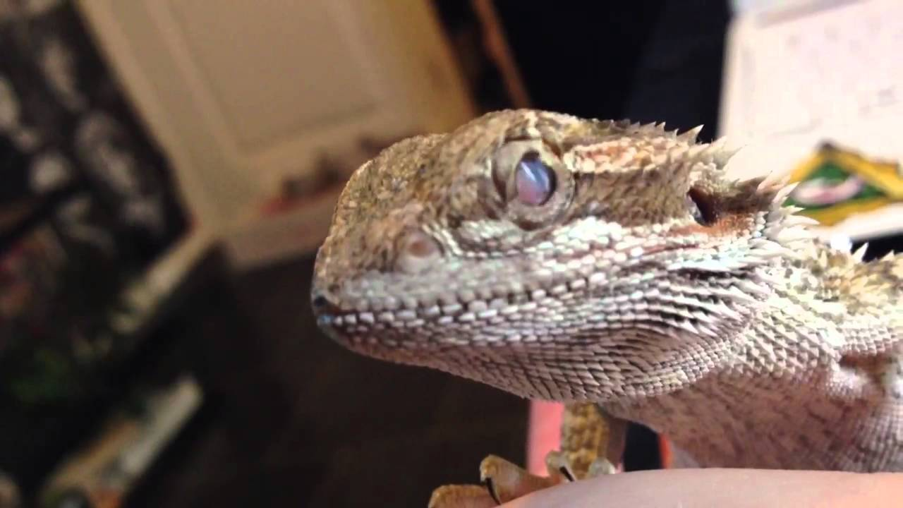 Help Baby Bearded Dragon Eye Infection Youtube