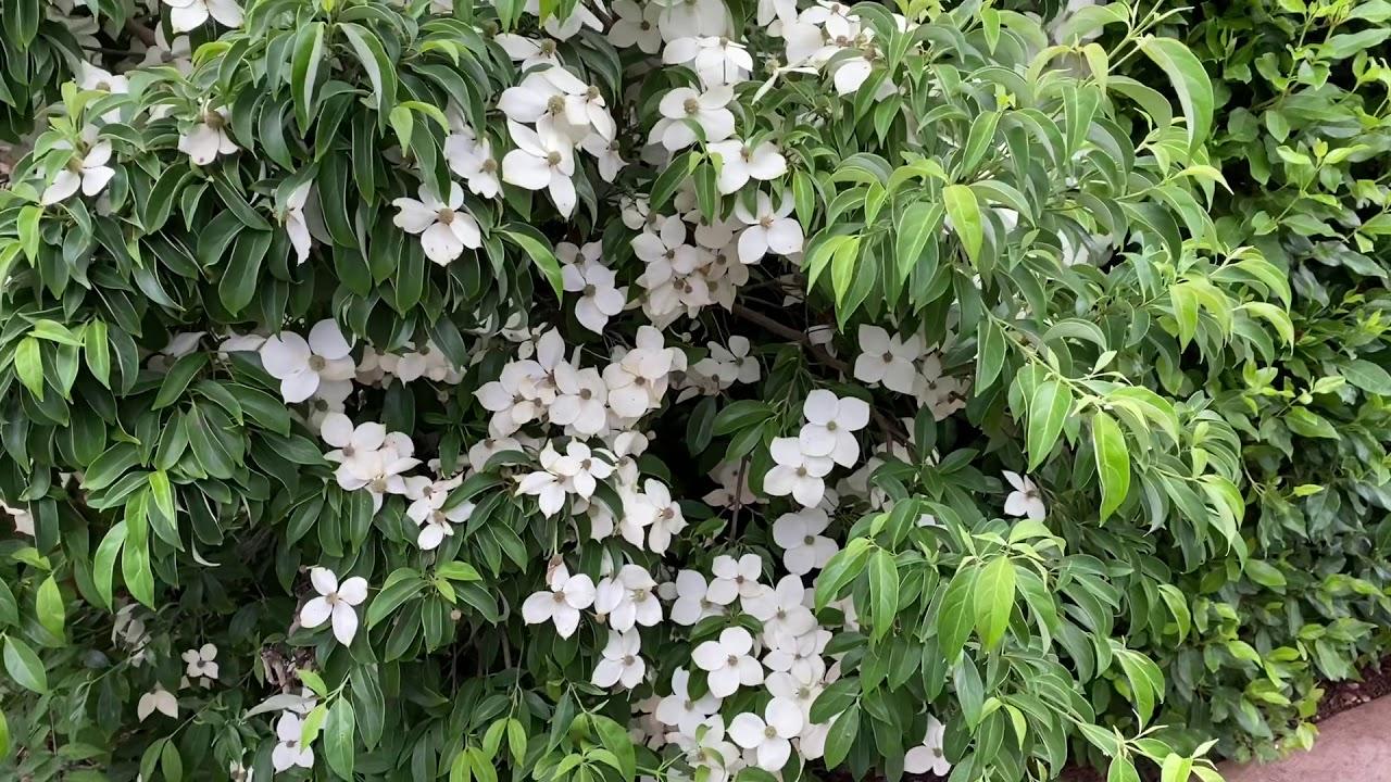 Sárga-gally Dogwood Plant Profile