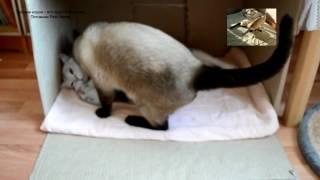 Тайский кот Оскар заботливый отец и ласковый муж! Тайские кошки - это чудо! Funny Cats